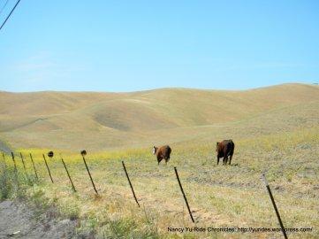 cattle run