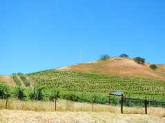 olive grove-hillside vines