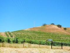 olive grove-hillside vines
