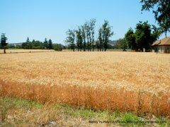 dense hay field