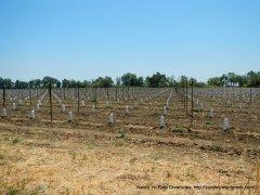 Mankas Corner new vines