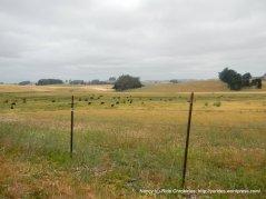 open valley meadows- grazing cattle