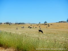 cattle country