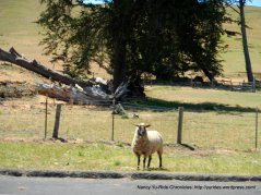 loose sheep