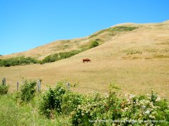 grazing cattle-rolling hills