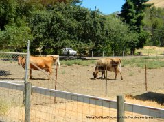 Franklin Canyon Rd cattle ranch