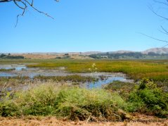 Tomales Bay marshes