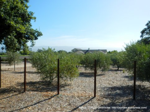 valley olive groves