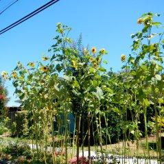 Redwood Rd sunflowers