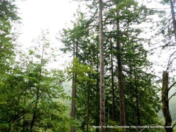 pencol straight trees
