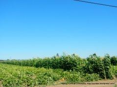 squash & corn field