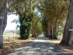 eucalyptus tree lines road