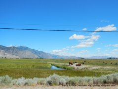 grazing cattle-Carson Valley