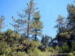 ridge line trees