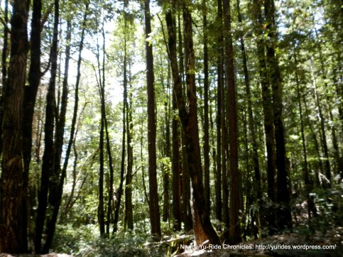 stand of redwoods