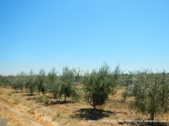 putah creek rd olive grove-yellow bike