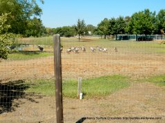 ranchlands- ducks