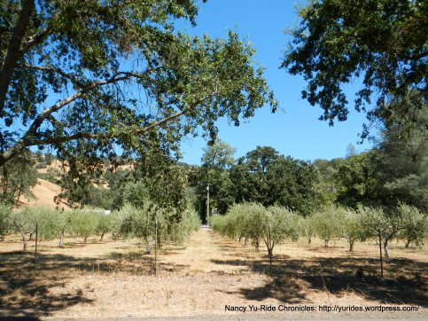 chiles valley olive grove