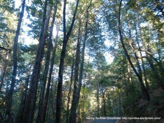 conifer woods