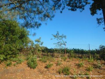 angwin vineyard