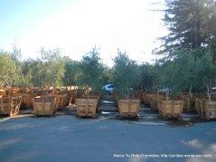 napa valley olive trees