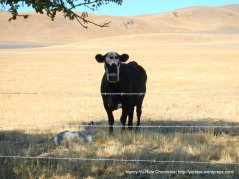 cow & white calf