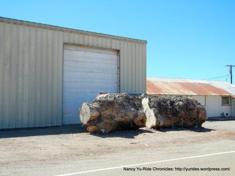huge tree stumps