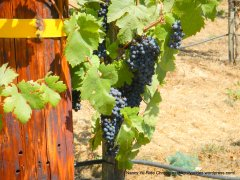 ready to pick grapes