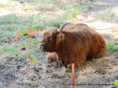 Green Valley yak
