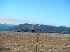 hauser bridge cattle