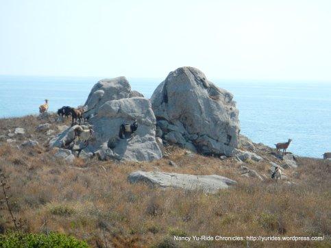 goats-coastal landscape