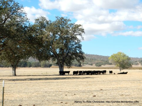 cholame rd cattle