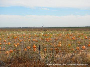Road 85 pumpkins