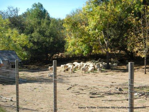 thompson ave goats