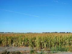 corn filed