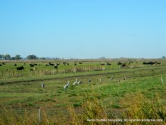 cattle/cranes