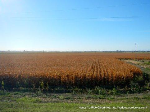 grain field