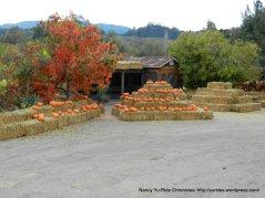 silverado trail pumpkins