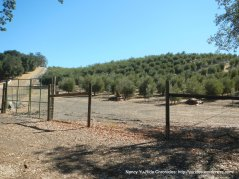 pasolivo olive oil groves