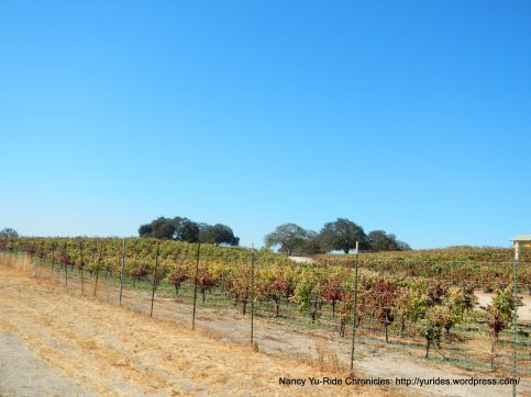 CA-41 S vineyards