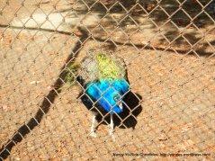 pacheco peacock