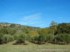 chiles valley olive groves