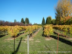 russian river valley vines
