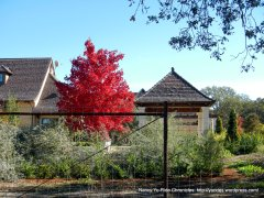 deep red maple