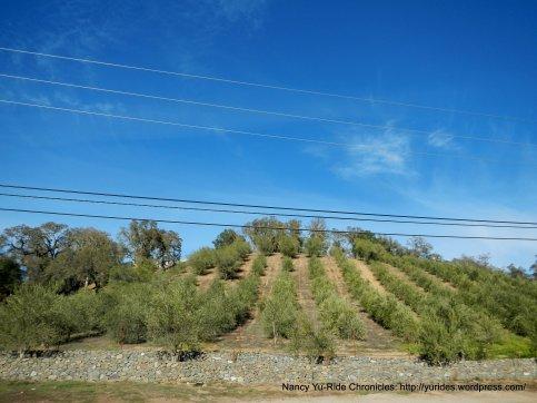 dry creek olive groves