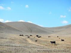 doolan rd cattle