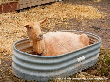 goat in a tub