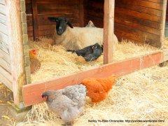 sheep & chickens