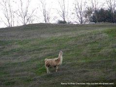 hilltop alpaca