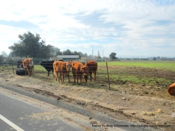 livermore valley cattle